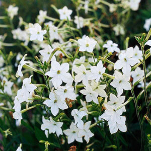White flowers look great in any garden