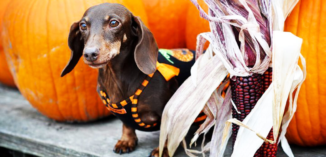 Your puppy can trick or treat as well!