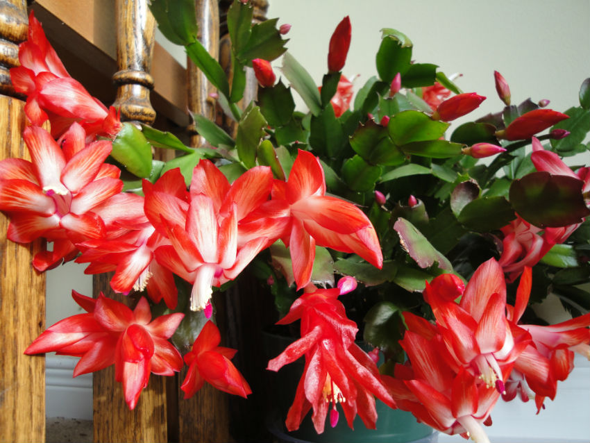 Christmas Cactus can endure various Holidays. Image Source: Northern Garden